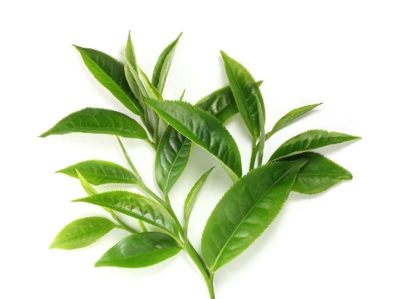 Trà xanh có thể khắc phục nhanh tình trạng mụn